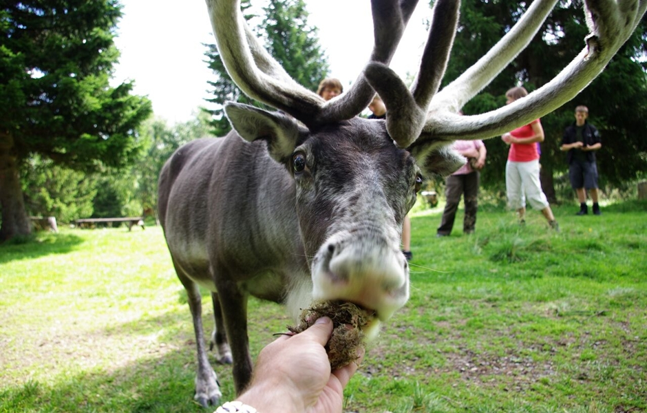 Feed a raindeer in Åre.